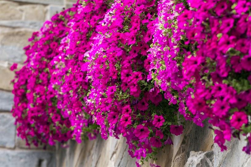 Surfinie dobrze rosną w słońcu i w żyznej ziemi /123RF/PICSEL