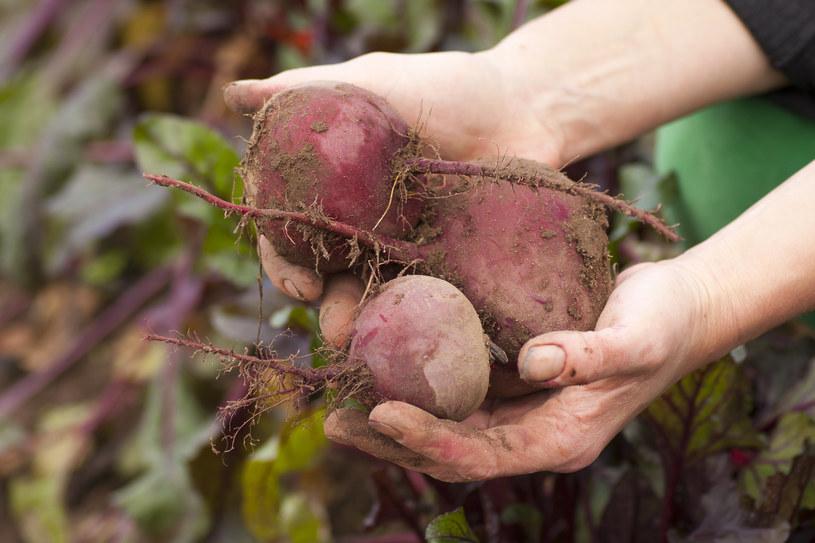 Surowe buraki są bardziej wartościowe od gotowanych warzyw /123RF/PICSEL