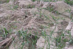 Susza na polach - nie rośnie zboże ozime