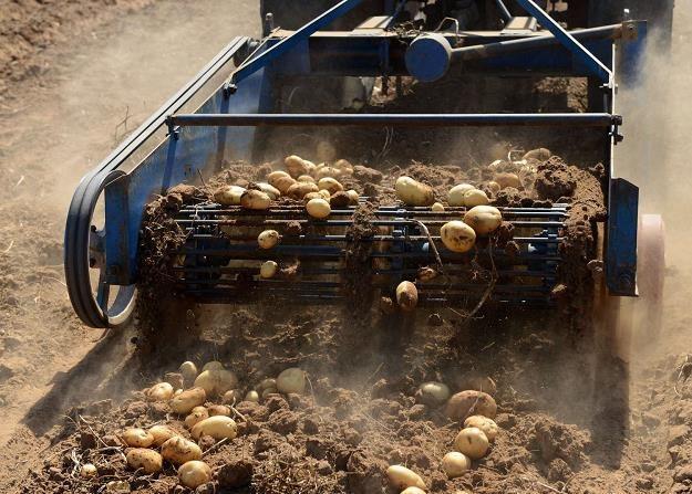 Susza w 2018 r. zrobiła swoje na rynku ziemniaków /AFP
