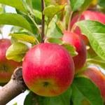 Susza w Polsce: Zbiory jabłek mogą być nawet o 20 procent niższe