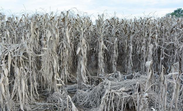 Susza zaszkodziła rolnikom /©123RF/PICSEL
