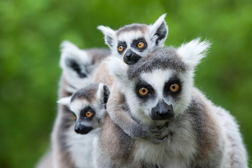 Światowa populacja lemurów ma się coraz gorzej /123RF/PICSEL