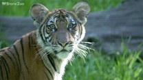 Światowy Dzień Tygrysa. Poznajcie 5 ciekawostek na ich temat