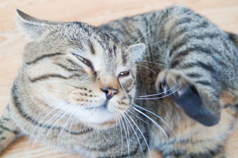 Świerzb u kota może być bardzo groźny dla zwierzęcia /123RF/PICSEL