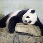 Święto w waszyngtońskim zoo. Na świat przyszły dwie pandy