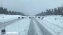 Święty Mikołaj zgubił zaprzęg? Stado reniferów zagrodziło drogę na kanadyjskiej autostradzie