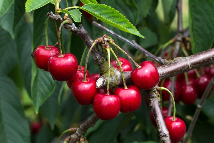 Świeże czereśnie to bogate źródło potasu /123RF/PICSEL