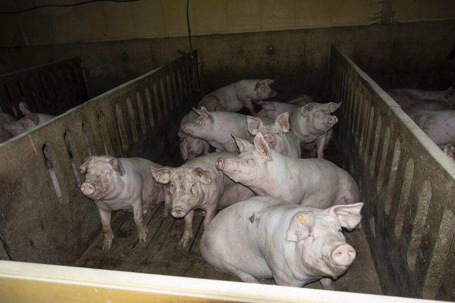 Świnie w niemieckich zakładach w Toennies /www.tierschutzbuero.de/ /Materiały prasowe