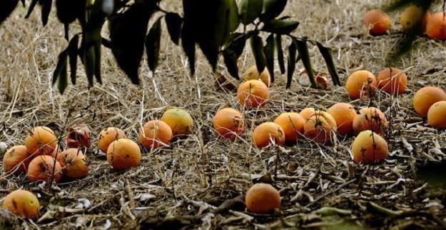 Sycylia opływa w pomarańcze /AFP