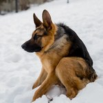 Syndrom krótkiego kręgosłupa: Nietypowa psia wada genetyczna