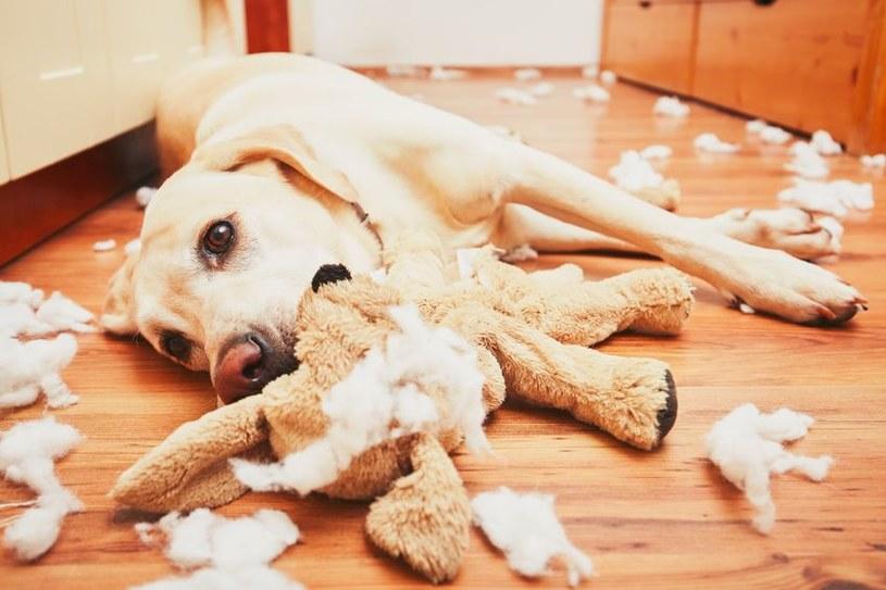 Syndrom pica to poważne zaburzenie u psa /123RF/PICSEL