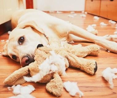 Syndrom pica u psa: Co to jest, jak się objawia?