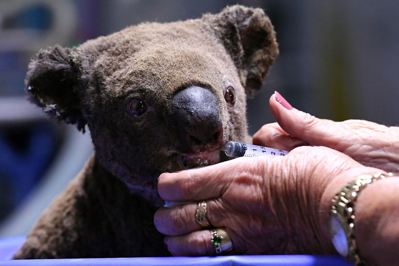 Szacuje się, że w wyniku pożarów Australia straciła aż 30% koali, tysiące zwierząt walczy o życie w szpitalach /SAEED KHAN/AFP /East News