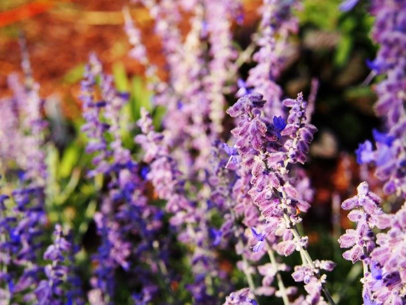 Szałwia ma piękne kwiaty /©123RF/PICSEL