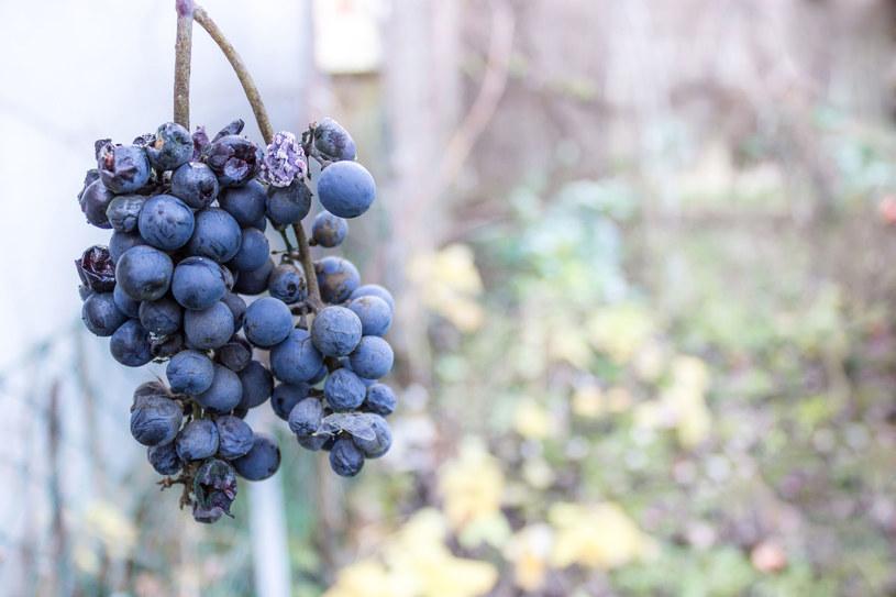 Szara pleśń powoduje, że owoce gniją. Kiedy skończy się wegetacja, sadownicy zalecają oprysk /123RF/PICSEL