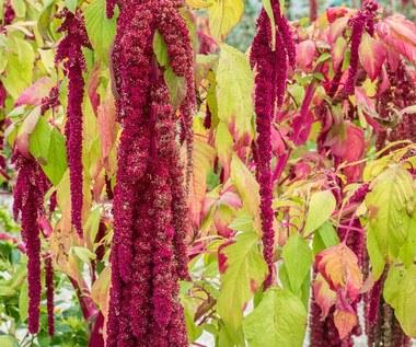 Szarłat zwisły: Zdobi ogród i przepięknie kwitnie aż do przymrozków