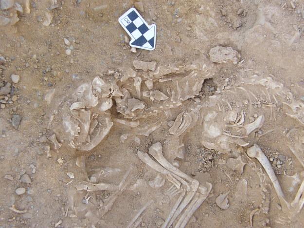 Szczątki kotów ze stanowiska Hierakonpolis sprzed ok. 6000 lat /© Hierakonpolis Expedition /materiały prasowe