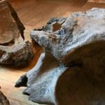Szczątki mamuta znalezione na budowie metra w Warszawie