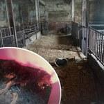 Szczątki na podwórku, zaniedbane kozy. Dramat zwierząt na posesji weterynarza w Gogolinie