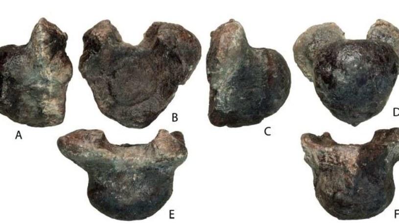 Szczątki wołgatytana - nowego gatunku dinozaura odkrytego w Rosji /materiały prasowe