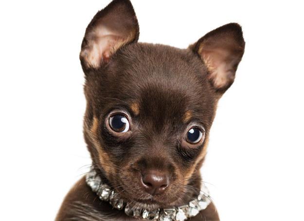 Szczeniaczka należy traktować inaczej niż dorosłego psa /123RF/PICSEL