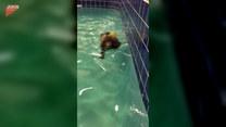 Szczeniak i jego pierwsza lekcja pływania. Jak mu poszło?