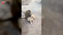 Szczeniak poddał się małpim zabiegom pielęgnacyjnym