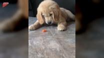 Szczeniak zainteresował się kawałkiem marchewki