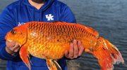 """Szczęście w rozmiarze XXL: Rekordowa złota rybka czy """"mutant""""?"""