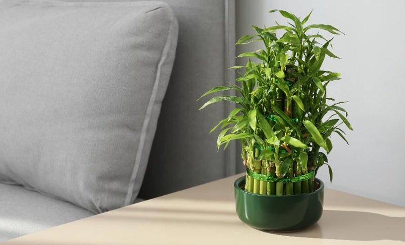Szczęśliwy bambus /©123RF/PICSEL