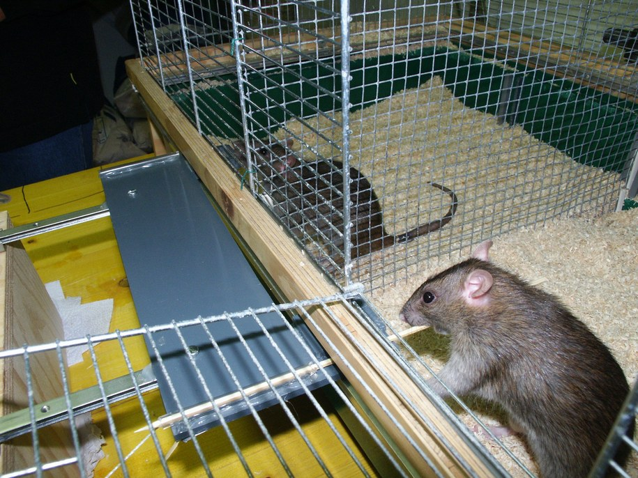 Szczur po prawej przesuwa platformę, by szczur po lewej miał dostęp do przysmaku /Michael Taborsky /Materiały prasowe