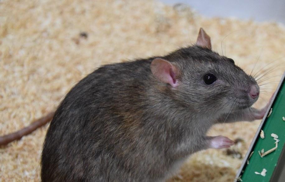 Szczur wędrowny (Rattus norvegicus) jest chętny do wspólpracy /Manon Schweinfurth /Materiały prasowe