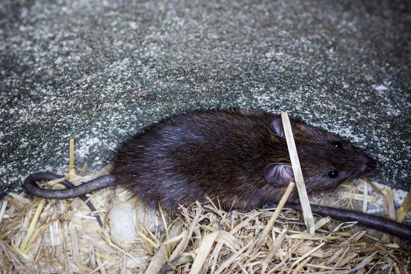 Szczur /©123RF/PICSEL