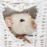 Szczury domowe mogą przenosić groźne choroby
