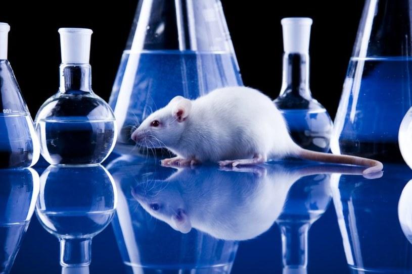 Szczury, jako jedyne ssaki obok człowieka, mogą odczuwać żal /123RF/PICSEL