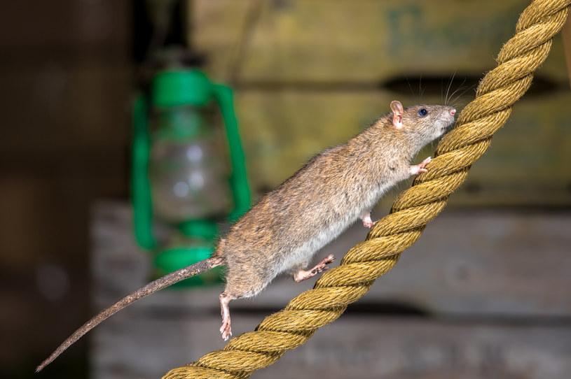 Szczury mogą przenosić wirusowe zapalenie wątroby typu E /123RF/PICSEL
