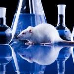 Szczury mogą żałować błędnych decyzji