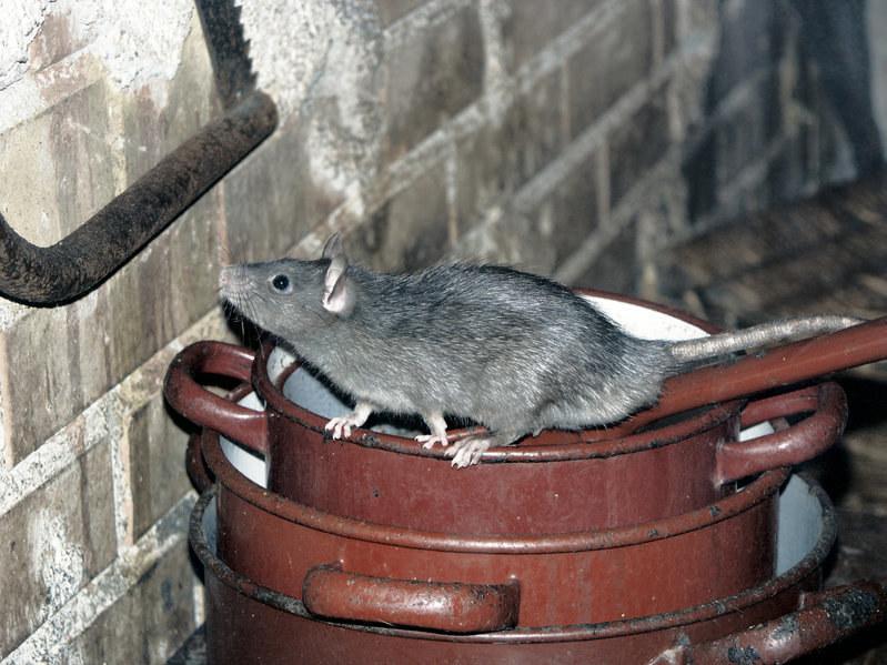 Szczury są bardzo przebiegłe i w mig mogą opanować nasz dom! /123RF/PICSEL