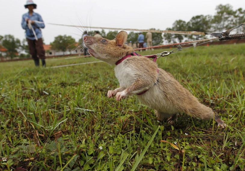 Szczury szkolone są w ośrodku Apopo w Tanzanii /Pring Samrang/ Reuters /Agencja FORUM