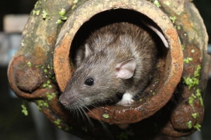 Szczury we Wrocławiu, zdj. ilustracyjne /123RF/PICSEL