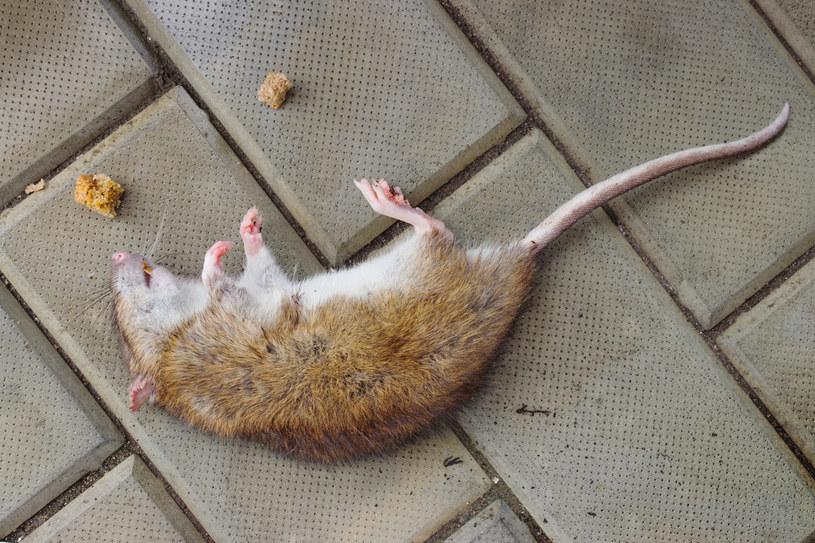 """Szczury """"wielkości kotów"""" przerażają mieszkańców Wielkiej Brytanii /123RF/PICSEL"""