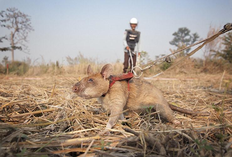 Szczury wykrywaczami min /foto: APOPO /