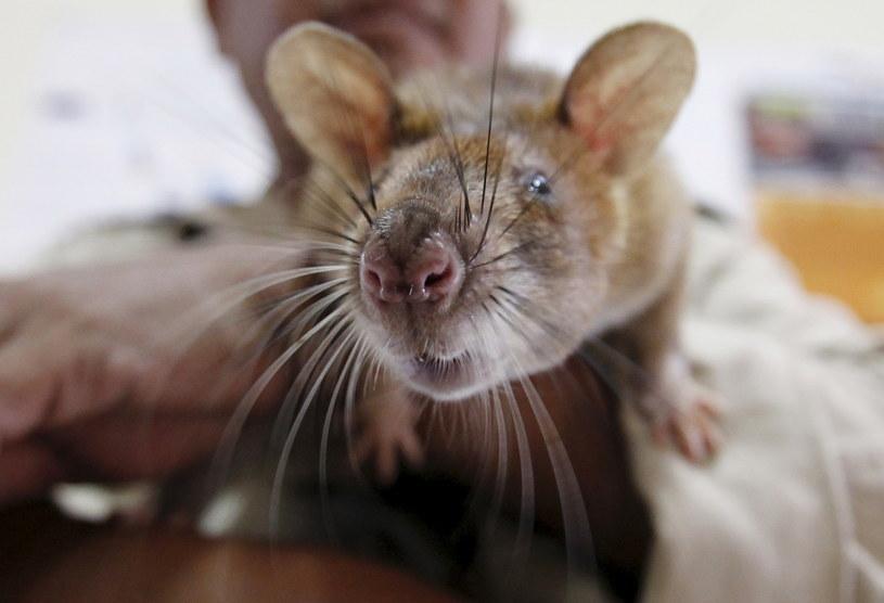 Szczury wykrywaczami min / Pring Samrang /Agencja FORUM
