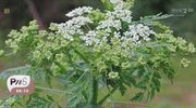 Szczwół plamisty - tą rośliną można kogoś otruć