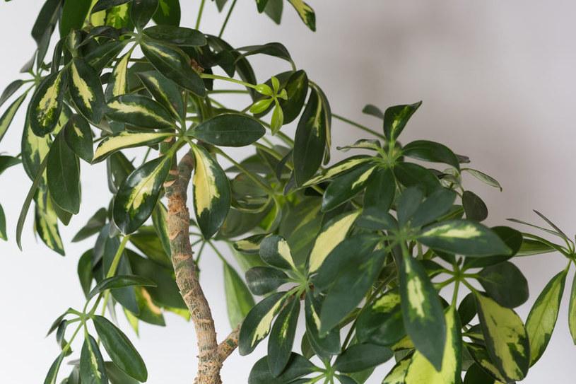 Szeflera drzewkowata /©123RF/PICSEL