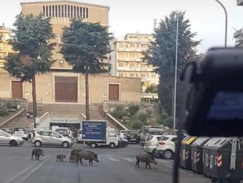 Sześć dzików przechodziło na pasach przez ulicę w Rzymie /Twitter