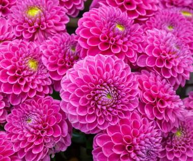 Sześć najpiękniejszych różowych kwiatów do ogrodu