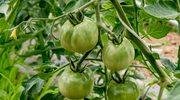 Sześć powodów, dla których warto jeść zielone pomidory