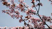 """""""Szkarłatny kwiat kamelii"""". Japonia na przełomie XIX i XX wieku"""